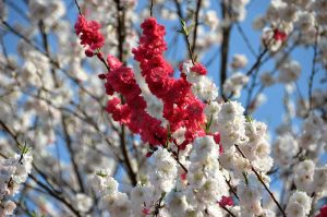 טיול ליפן בפריחת הדובדבן