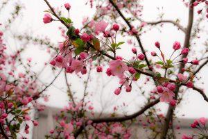טיול פריחת הדובדבן יפן